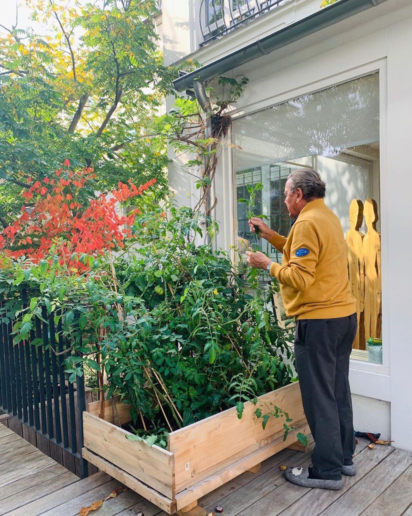 Gerhard Schröder im Garten bei der Tomatenernte