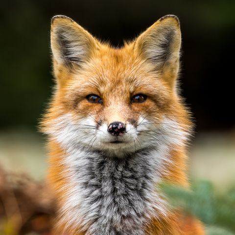 Krafttier Fuchs: Das zeichnet das Seelentier aus