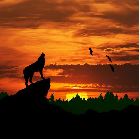 Krafttiere: Ein Wolf heult