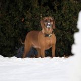 Ach, da steckt ja noch ein Royal. König Carl Gustafs Hund Brandie ist auch beim Ausflug in den Schnee dabei.
