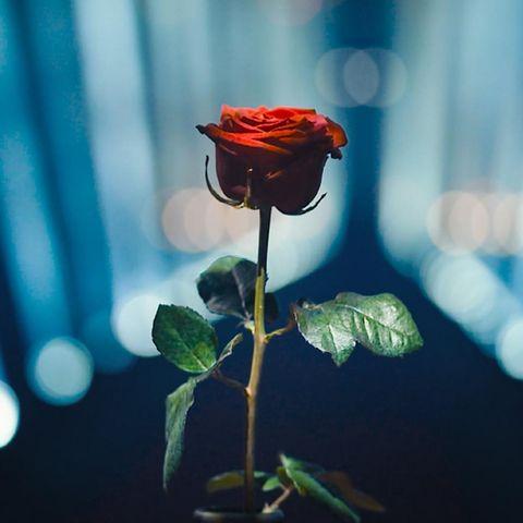 Die finale Rose