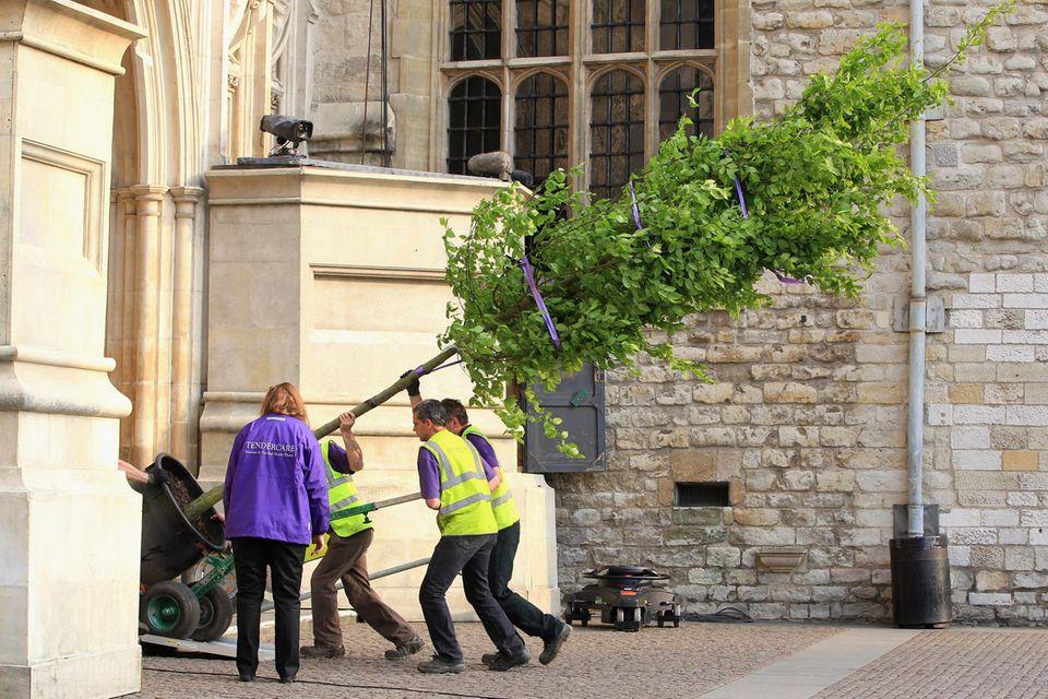 Bäume werden vor der Royal Wedding in die Westminster Abbey gebracht.