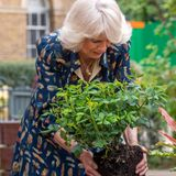 12. Mai 2021  Herzogin Camilla ist im Dienste der Kronein London unterwegs und packt ordentlich mit an.Im Garten des Whittington Krankenhauses pflanzt siegemeinsam mit den Mitarbeitern neueRosen. Gartenarbeit, die der Herzogin jede Menge Spaß zu bereiten scheint.