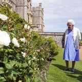 """10. Juni 2021  Heute wäre Prinz Philip 100 Jahre alt geworden. An diesem Tag blühen die Rosen auf Schloss Windsor besonders schön.In Gedenken an ihren Ehemann,erhält Queen Elizabeth die """"Duke of Edinburgh-Gedenkrose"""", welche extra für diesen Ehrentag gepflanzt wird."""