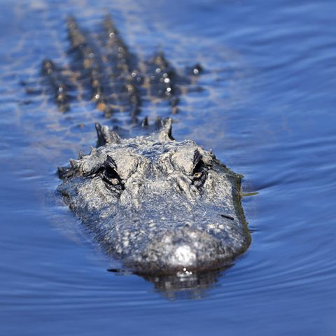Alligator schwimmt im Wasser