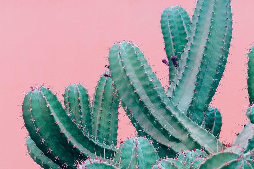 Hautpflege: Kakteen vor rosanem Hintergrund