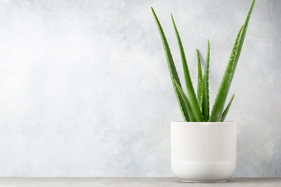Hautpflege: Aloe vera in einem Bluemntopf