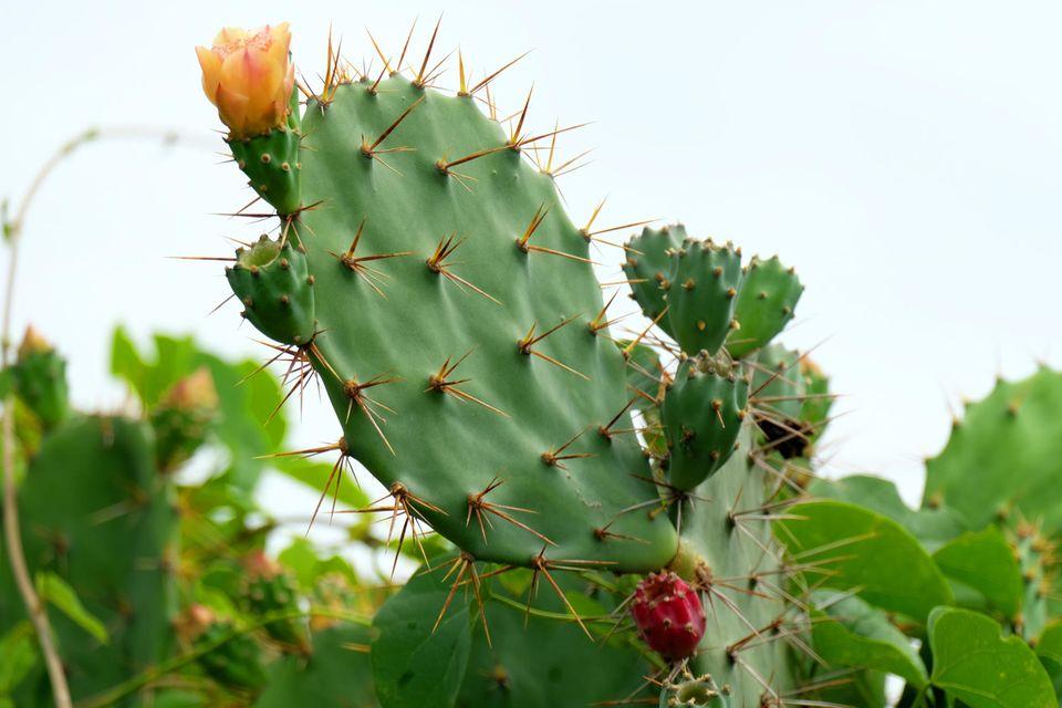 Hautpflege: Blühendes Kaktusblatt