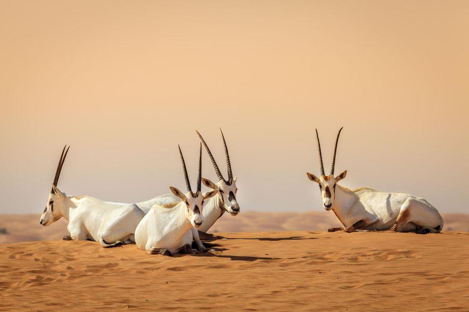 Dubai Geheimtipps: Oryxantilopen im Dubai Desert Conservation Reserve
