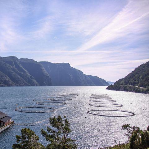 Massentierhaltung unter Wasser: Aquakultur von Fischen, etliche Käfige mit Fischen